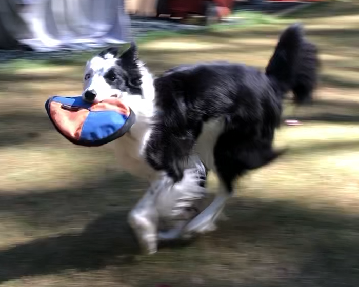 Tess running with Frisbee
